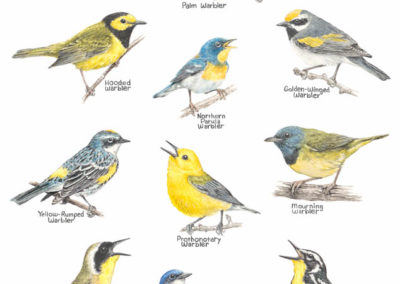 Chris Rowlands-Pallette Warblers